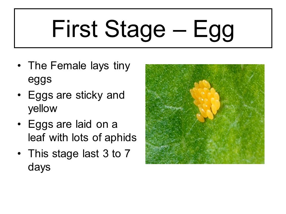 Second Stage – Larvae The larvae that hatches from the egg The larvae is small and long and has 6 legs.