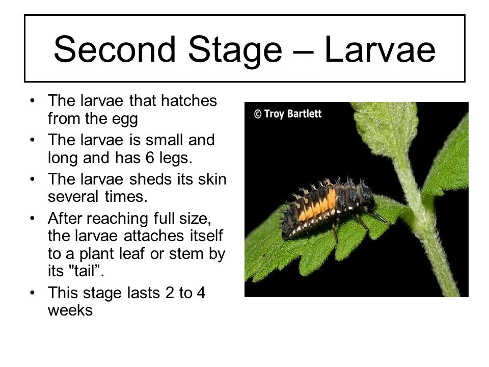 Third Stage – Pupa The larval skin then splits down the back, exposing the pupa.