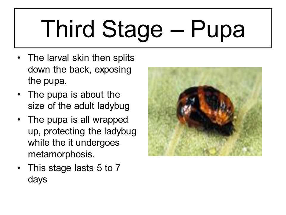 Forth Stage – Ladybug The adult ladybug emerges from the pupa As the ladybug grows it begins to get its spots The ladybugs life span is a few months Ladybugs eat aphids yum-yum!