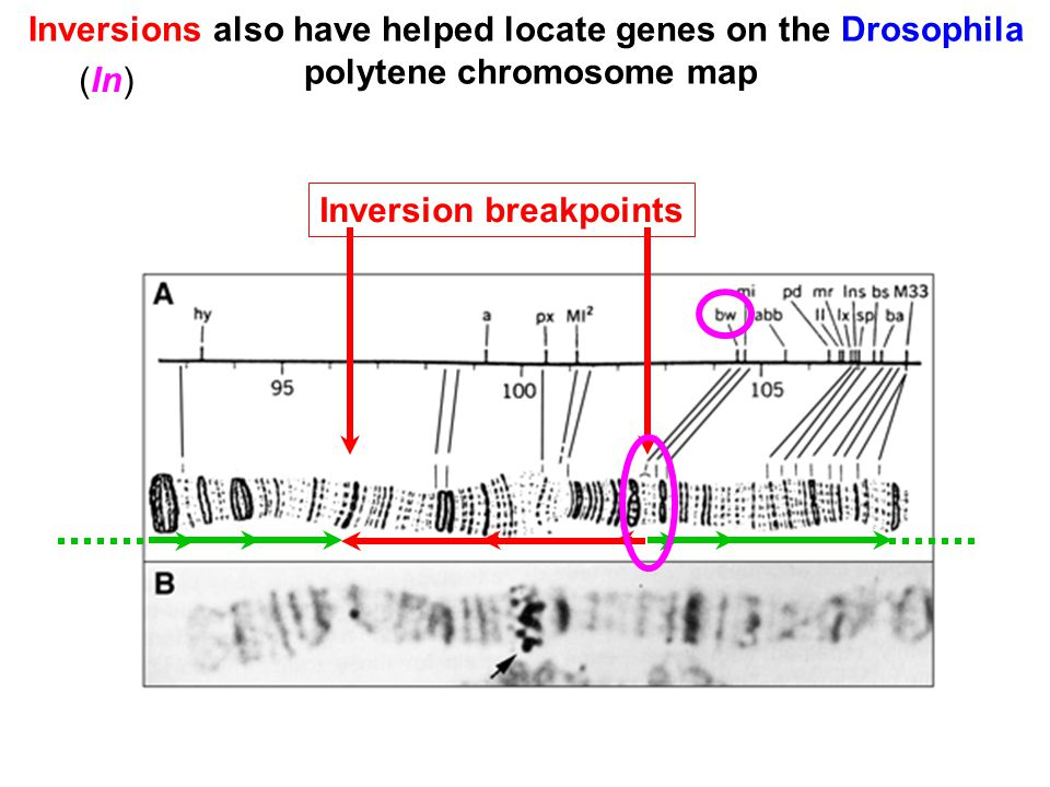 Inversions also have helped locate genes on the Drosophila polytene chromosome map Inversion breakpoints (In)