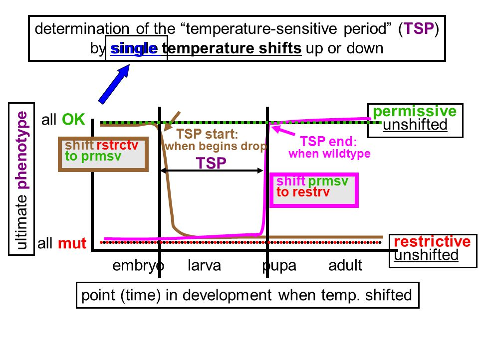 "determination of the ""temperature-sensitive period"" (TSP) by single temperature shifts up or down point (time) in development when temp. shifted embry"