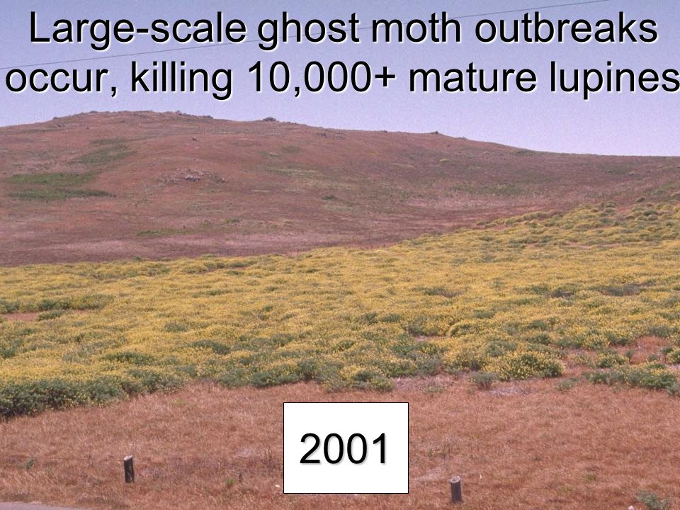 Large-scale ghost moth outbreaks occur, killing 10,000+ mature lupines 2001