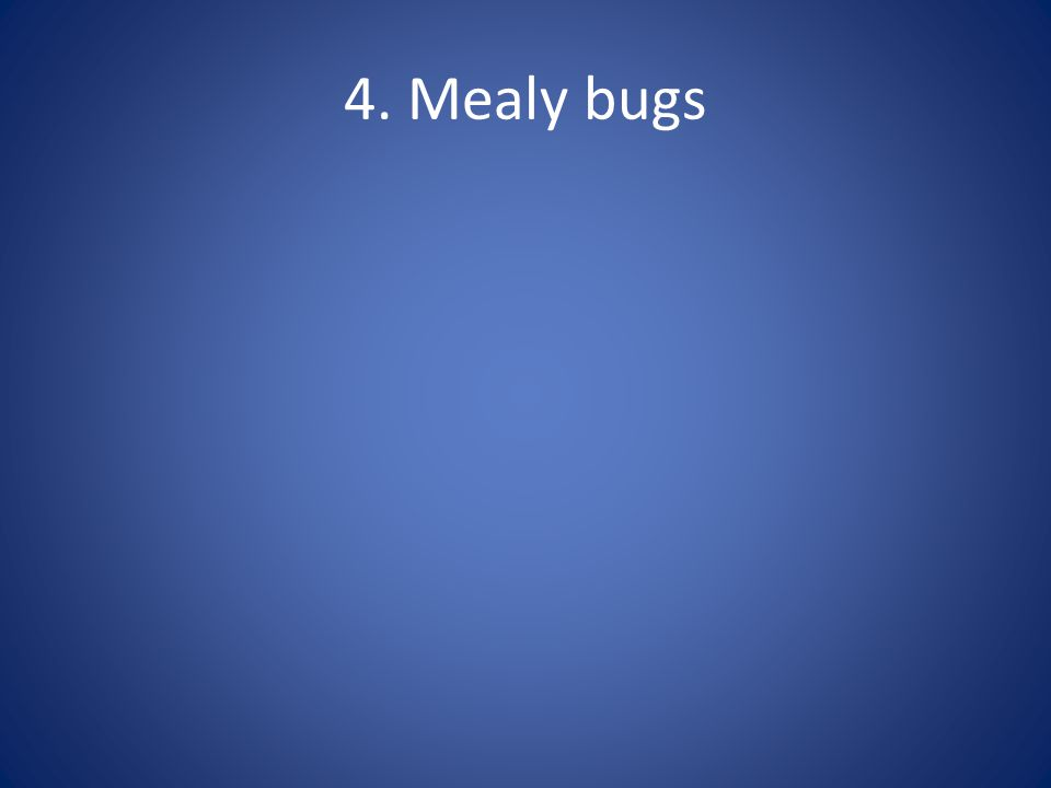 4. Mealy bugs