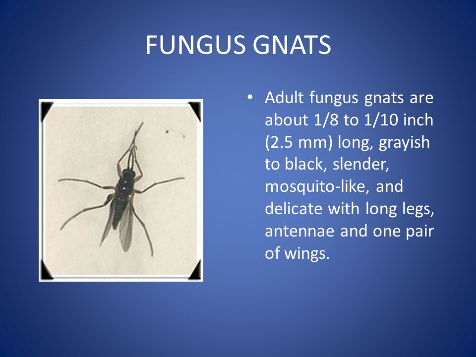 FUNGUS GNATS Adult fungus gnats are about 1/8 to 1/10 inch (2.5 mm) long, grayish to black, slender, mosquito-like, and delicate with long legs, antennae and one pair of wings.