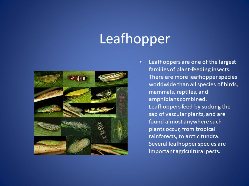 Leafhopper Leafhoppers are one of the largest families of plant-feeding insects.