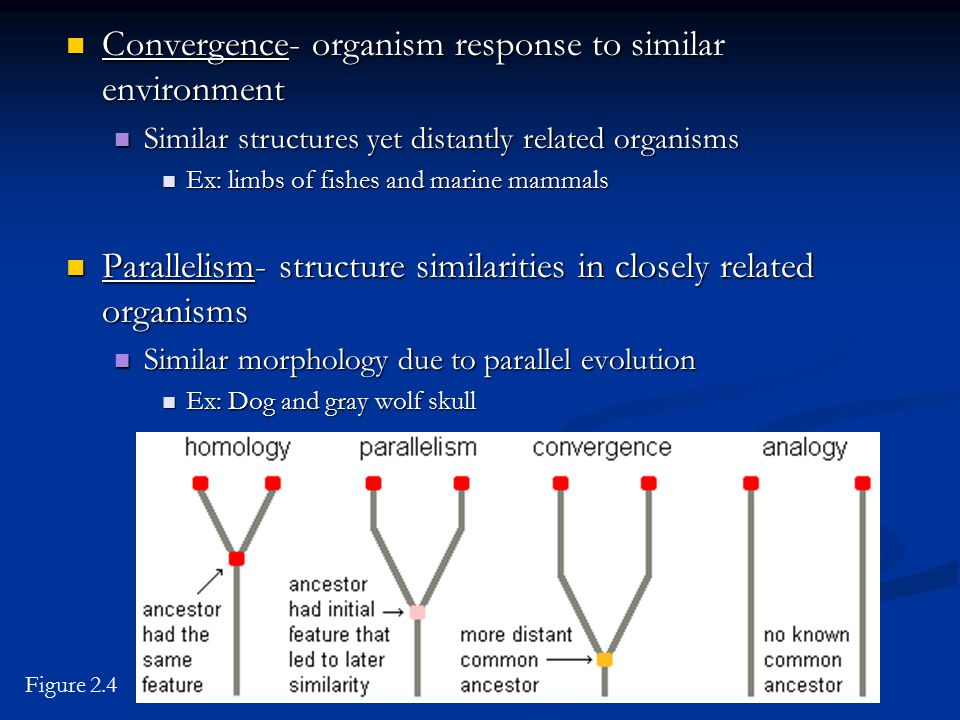Convergence- organism response to similar environment Convergence- organism response to similar environment Similar structures yet distantly related o