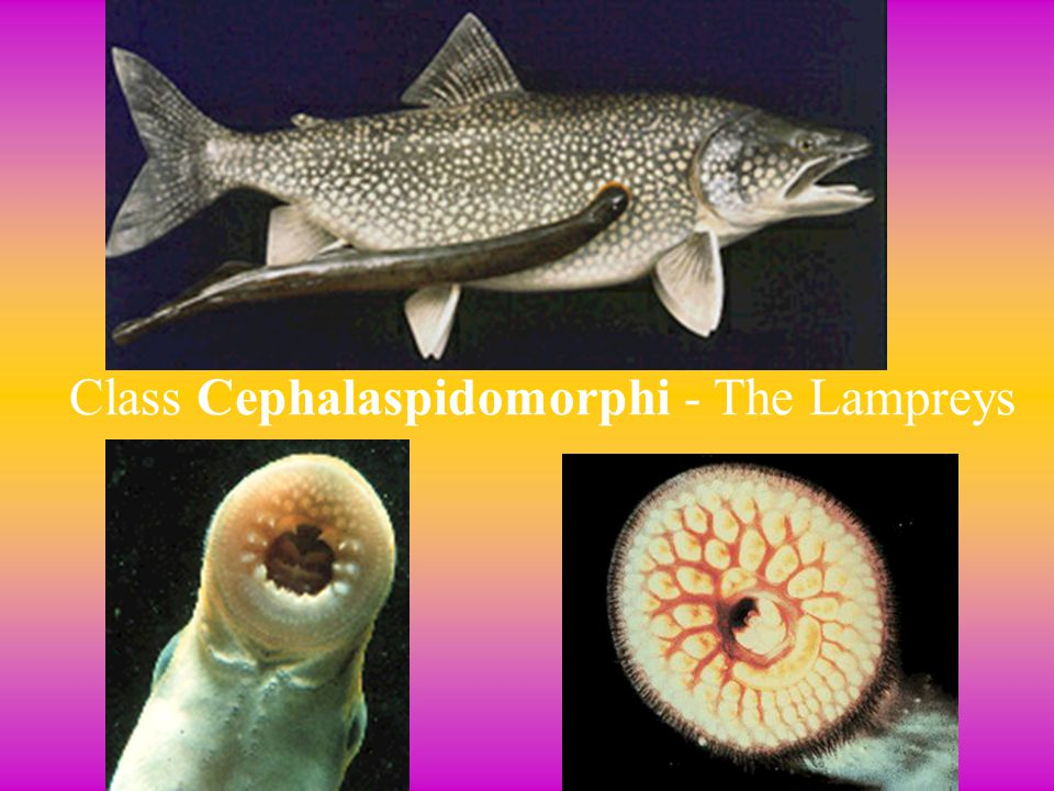 2. Cephalaspidomorphi (Lampreys) Jawless, Parasitic Fish - Jawless, Parasitic Fish - Lampreys attach themselves to their host with disc-shaped mouth &