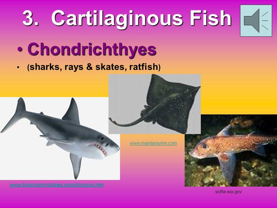 Class Cephalaspidomorphi - The Lampreys
