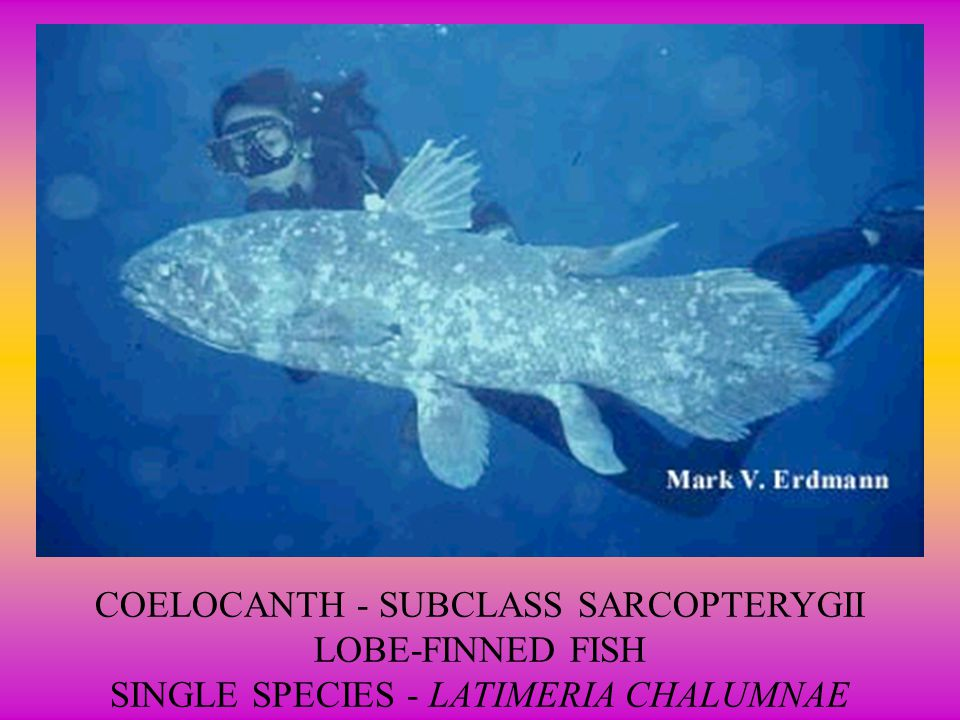 4. Sarcopterygii 4. Sarcopterygii LOBE-finned fishes Have fleshy fins with bony axis Extinct lobe-fin fish may have been ancestors of amphibians Group