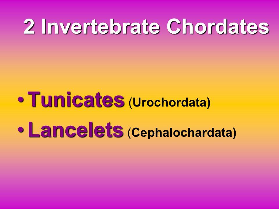 2 Invertebrate Chordates TunicatesTunicates (Urochordata) LanceletsLancelets (Cephalochardata)