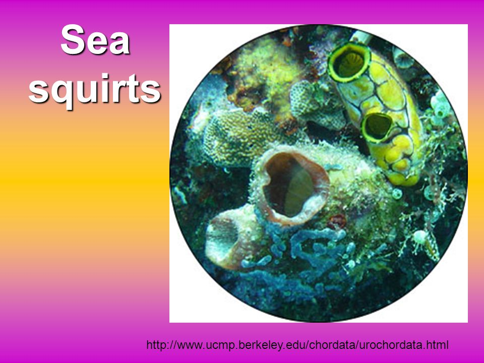 White-spotted Ascidians White-spotted Ascidians (Pycnoclavella diminuta) (Indonesian) sea squirts, are filter-feeding animals with one siphon to pull