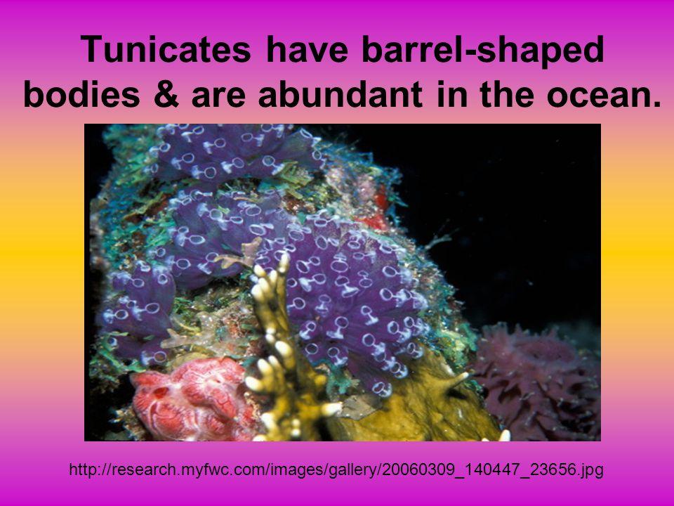 COELOCANTH - SUBCLASS SARCOPTERYGII LOBE-FINNED FISH SINGLE SPECIES - LATIMERIA CHALUMNAE