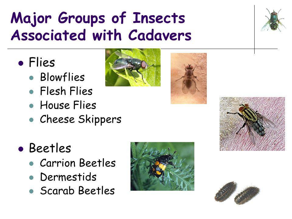 Major Groups of Insects Associated with Cadavers Flies Blowflies Flesh Flies House Flies Cheese Skippers Beetles Carrion Beetles Dermestids Scarab Bee