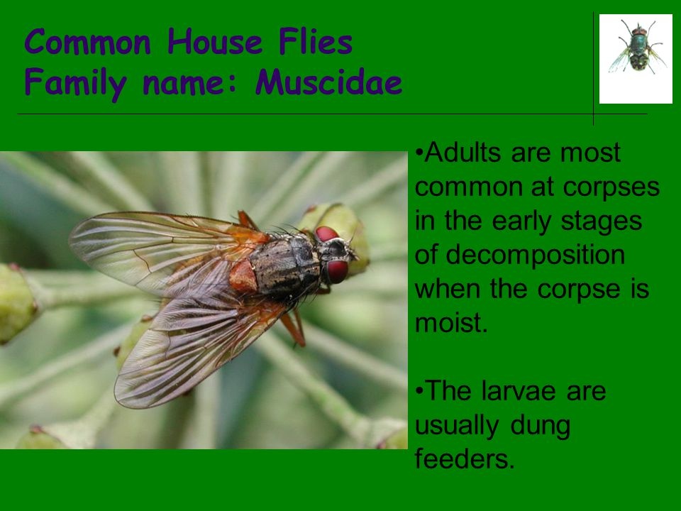 Common House Flies Family name: Muscidae Adults are most common at corpses in the early stages of decomposition when the corpse is moist. The larvae a