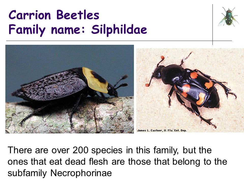 Carrion Beetles Family name: Silphildae There are over 200 species in this family, but the ones that eat dead flesh are those that belong to the subfa