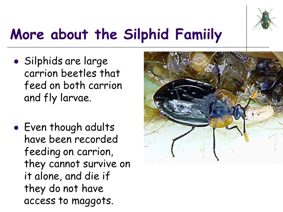 More about the Silphid Famiily Silphids are large carrion beetles that feed on both carrion and fly larvae. Even though adults have been recorded feed