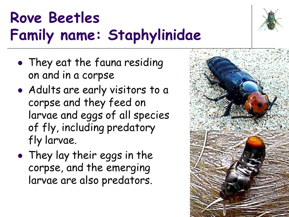 Rove Beetles Family name: Staphylinidae They eat the fauna residing on and in a corpse Adults are early visitors to a corpse and they feed on larvae a