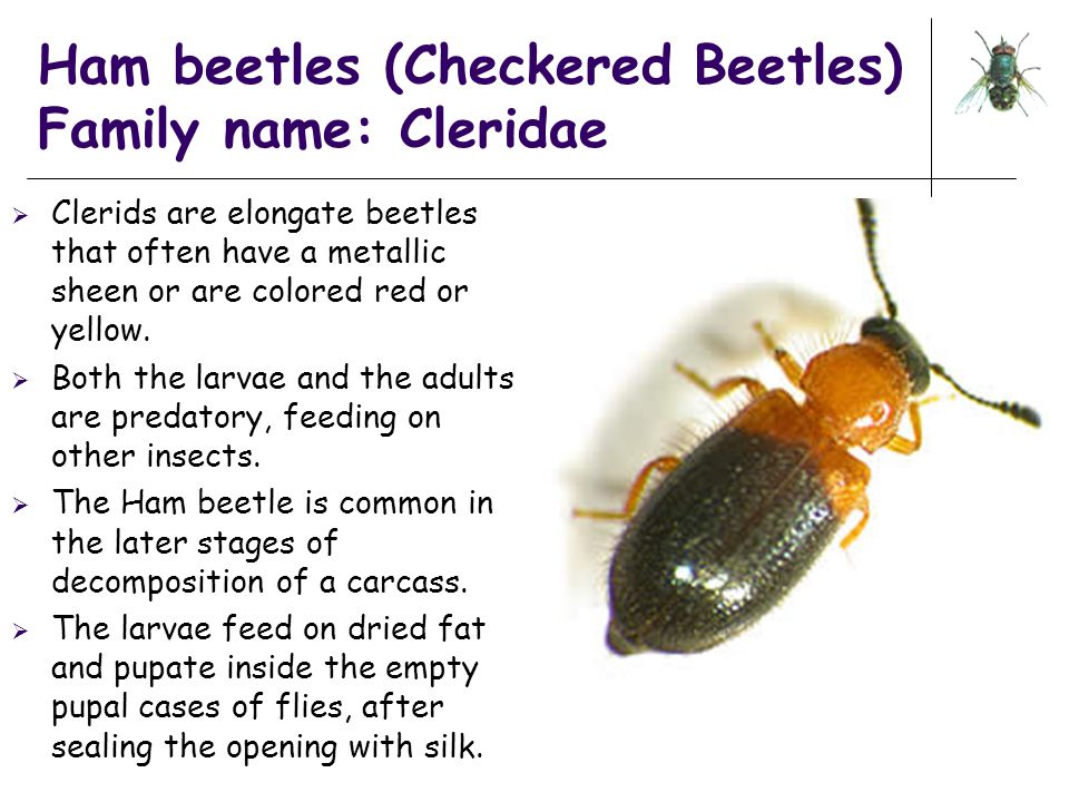 Ham beetles (Checkered Beetles) Family name: Cleridae  Clerids are elongate beetles that often have a metallic sheen or are colored red or yellow. 