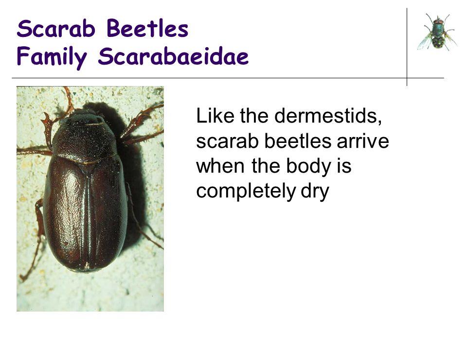 Scarab Beetles Family Scarabaeidae Like the dermestids, scarab beetles arrive when the body is completely dry