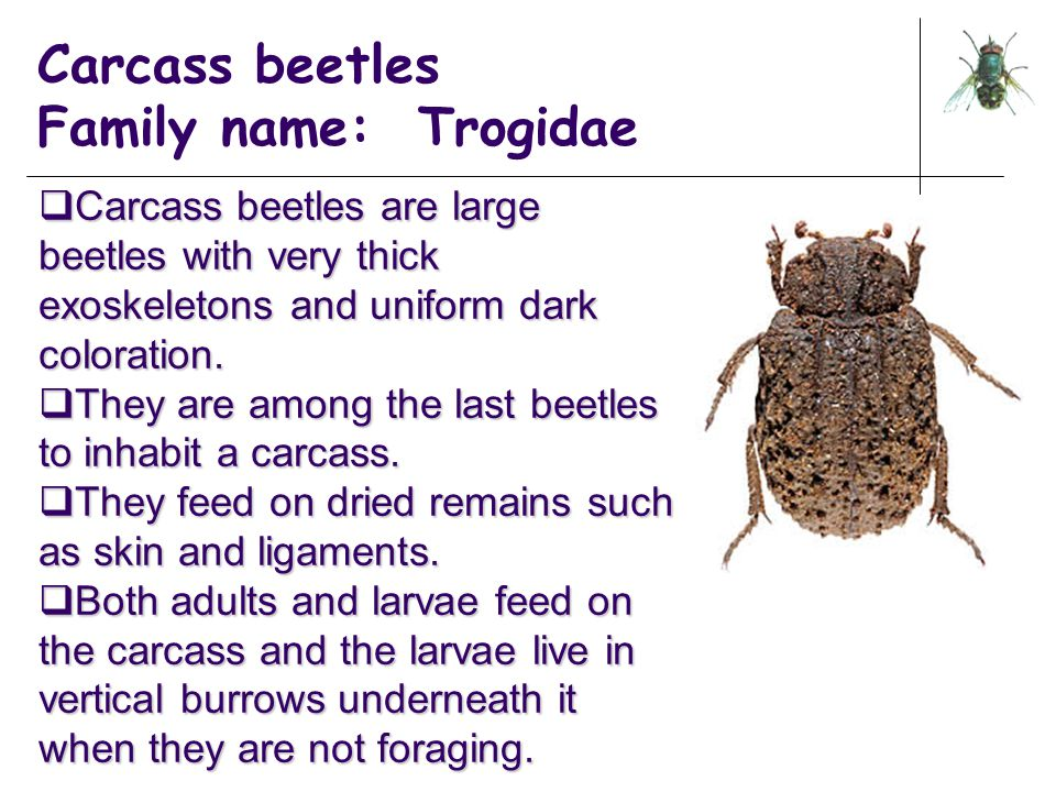 Carcass beetles Family name: Trogidae  Carcass beetles are large beetles with very thick exoskeletons and uniform dark coloration.  They are among t