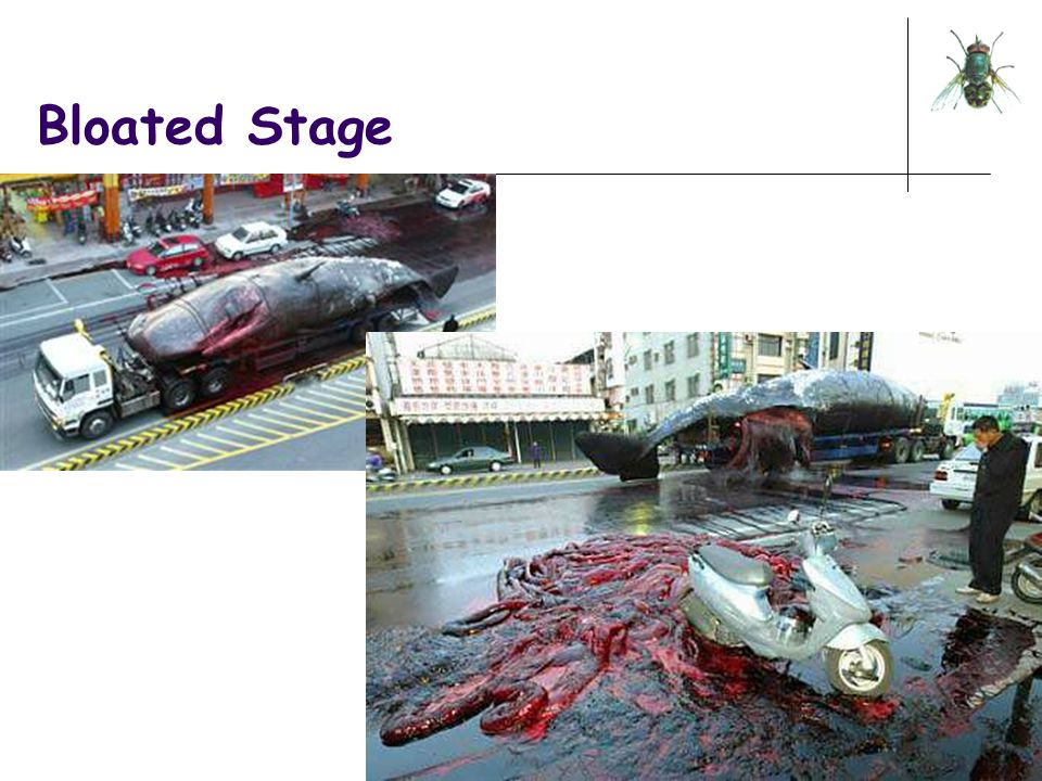 Bloated Stage