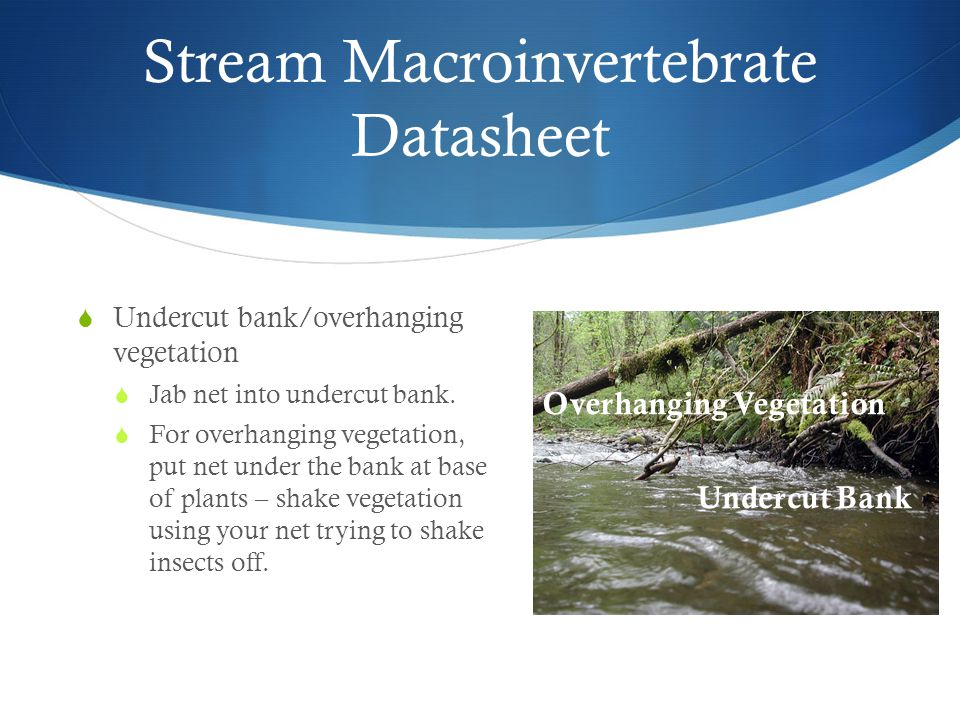 Stream Macroinvertebrate Datasheet  Undercut bank/overhanging vegetation  Jab net into undercut bank.