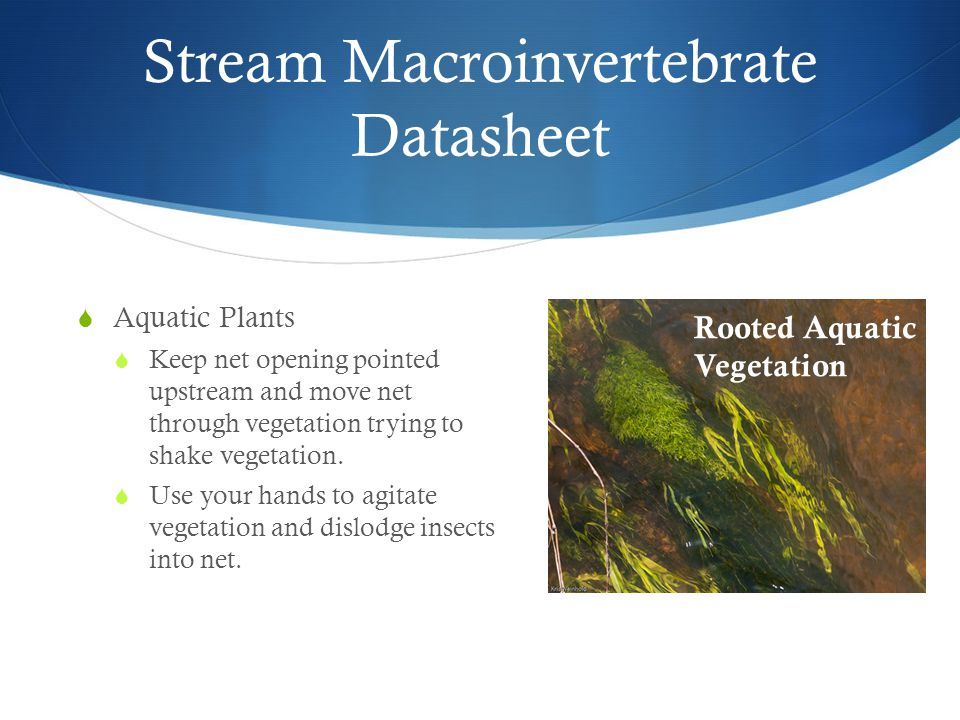 Stream Macroinvertebrate Datasheet  Aquatic Plants  Keep net opening pointed upstream and move net through vegetation trying to shake vegetation.