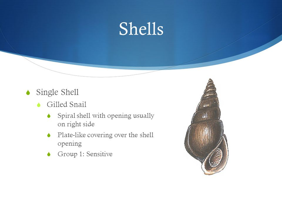 Shells  Single Shell  Gilled Snail  Spiral shell with opening usually on right side  Plate-like covering over the shell opening  Group 1: Sensitive