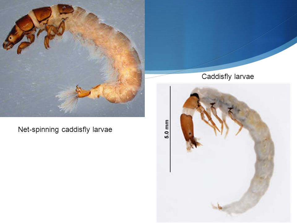 Net-spinning caddisfly larvae Caddisfly larvae