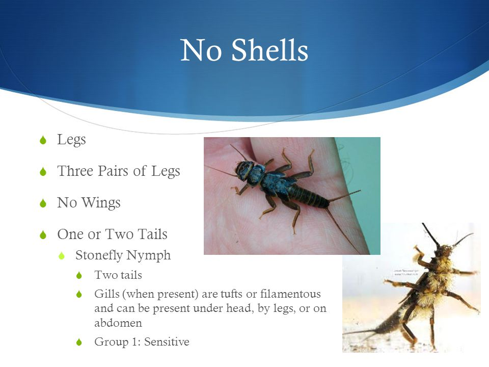 No Shells  Legs  Three Pairs of Legs  No Wings  One or Two Tails  Stonefly Nymph  Two tails  Gills (when present) are tufts or filamentous and can be present under head, by legs, or on abdomen  Group 1: Sensitive