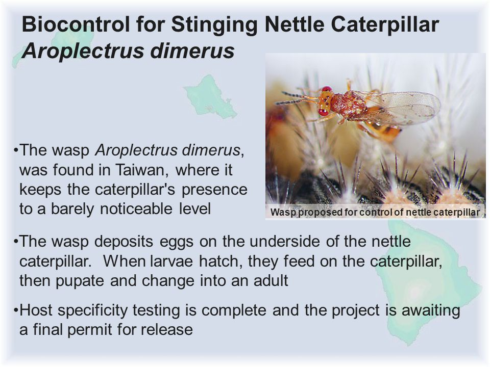 The wasp Aroplectrus dimerus, was found in Taiwan, where it keeps the caterpillar s presence to a barely noticeable level Biocontrol for Stinging Nettle Caterpillar Aroplectrus dimerus Wasp proposed for control of nettle caterpillar The wasp deposits eggs on the underside of the nettle caterpillar.