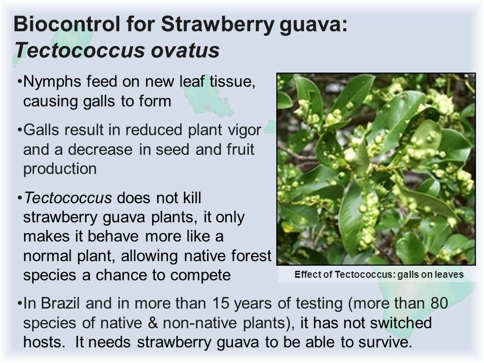Biocontrol for Strawberry guava: Tectococcus ovatus Nymphs feed on new leaf tissue, causing galls to form Galls result in reduced plant vigor and a decrease in seed and fruit production Tectococcus does not kill strawberry guava plants, it only makes it behave more like a normal plant, allowing native forest species a chance to compete Effect of Tectococcus: galls on leaves In Brazil and in more than 15 years of testing (more than 80 species of native & non-native plants), it has not switched hosts.