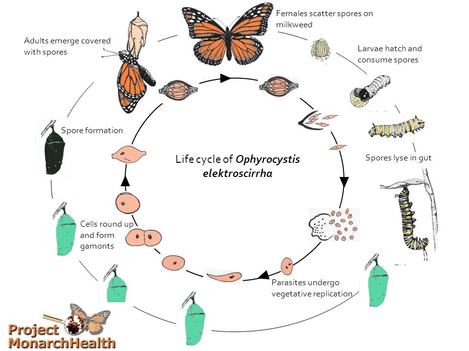 Life cycle of Ophyrocystis elektroscirrha Larvae hatch and consume spores Spores lyse in gut Parasites undergo vegetative replication Cells round up and form gamonts Spore formation Females scatter spores on milkweed Adults emerge covered with spores
