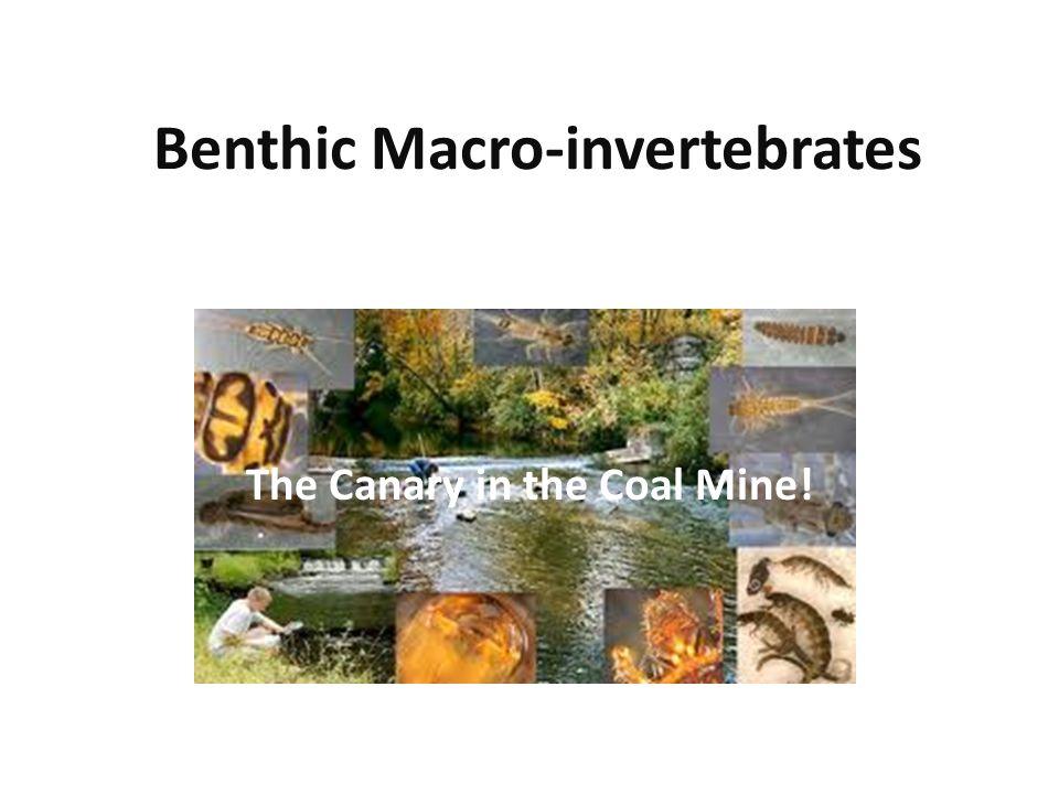 Benthic Macro-invertebrates The Canary in the Coal Mine!