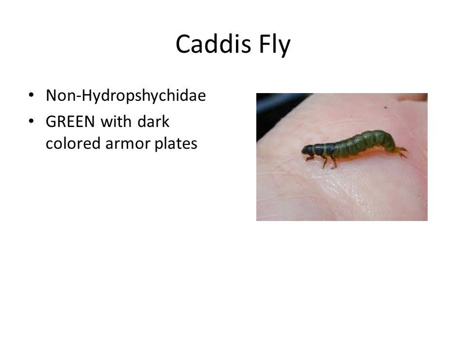 Caddis Fly Non-Hydropshychidae GREEN with dark colored armor plates