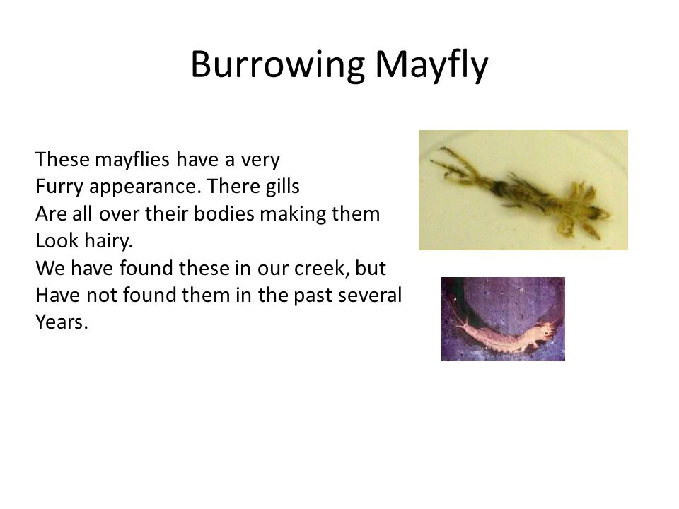 Burrowing Mayfly These mayflies have a very Furry appearance.
