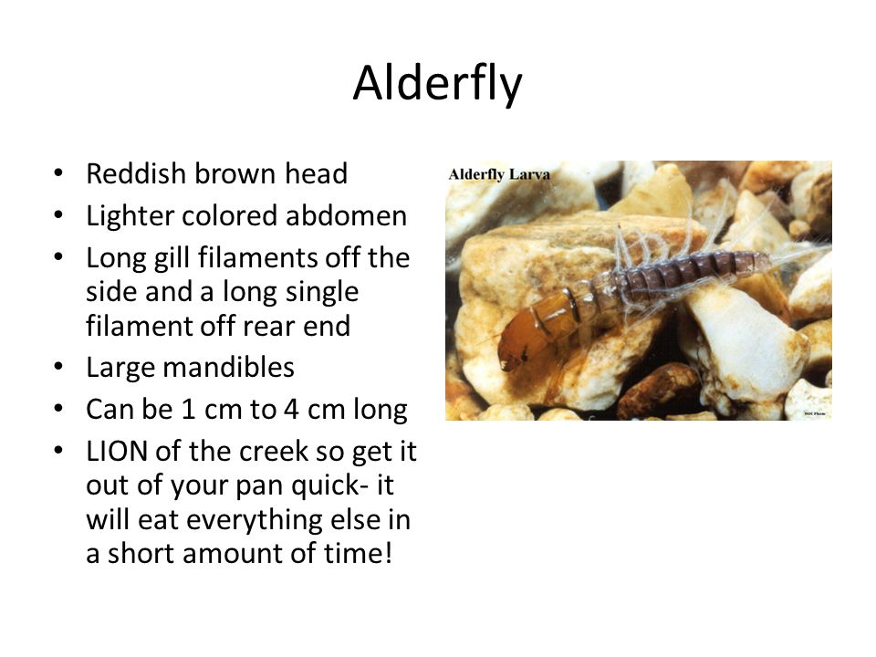 Alderfly Reddish brown head Lighter colored abdomen Long gill filaments off the side and a long single filament off rear end Large mandibles Can be 1 cm to 4 cm long LION of the creek so get it out of your pan quick- it will eat everything else in a short amount of time!