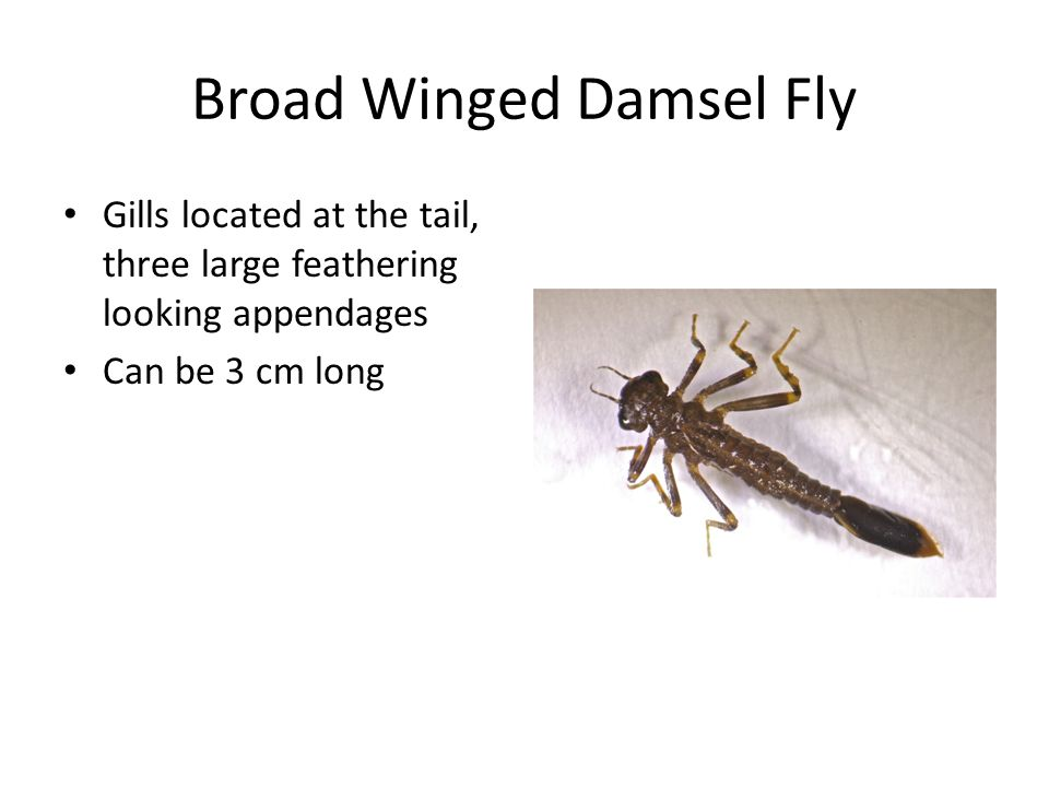 Broad Winged Damsel Fly Gills located at the tail, three large feathering looking appendages Can be 3 cm long
