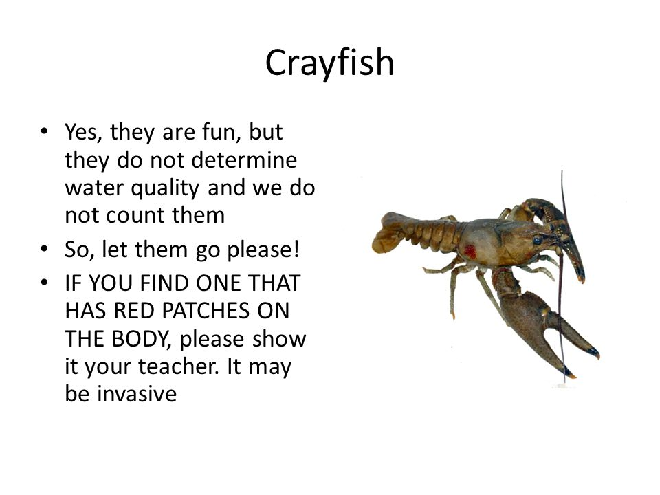 Crayfish Yes, they are fun, but they do not determine water quality and we do not count them So, let them go please.