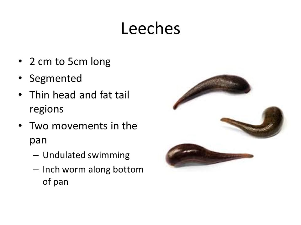 Leeches 2 cm to 5cm long Segmented Thin head and fat tail regions Two movements in the pan – Undulated swimming – Inch worm along bottom of pan