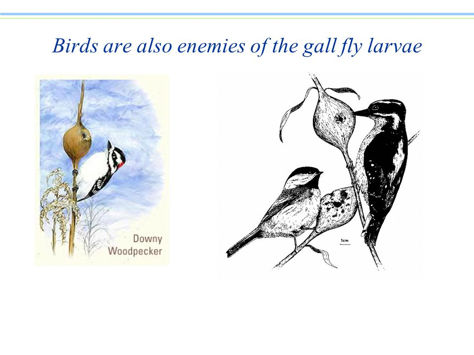 Birds are also enemies of the gall fly larvae