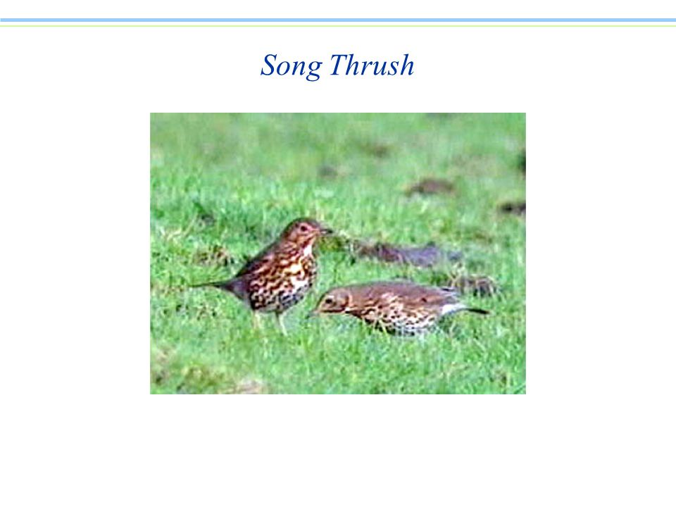 Song Thrush