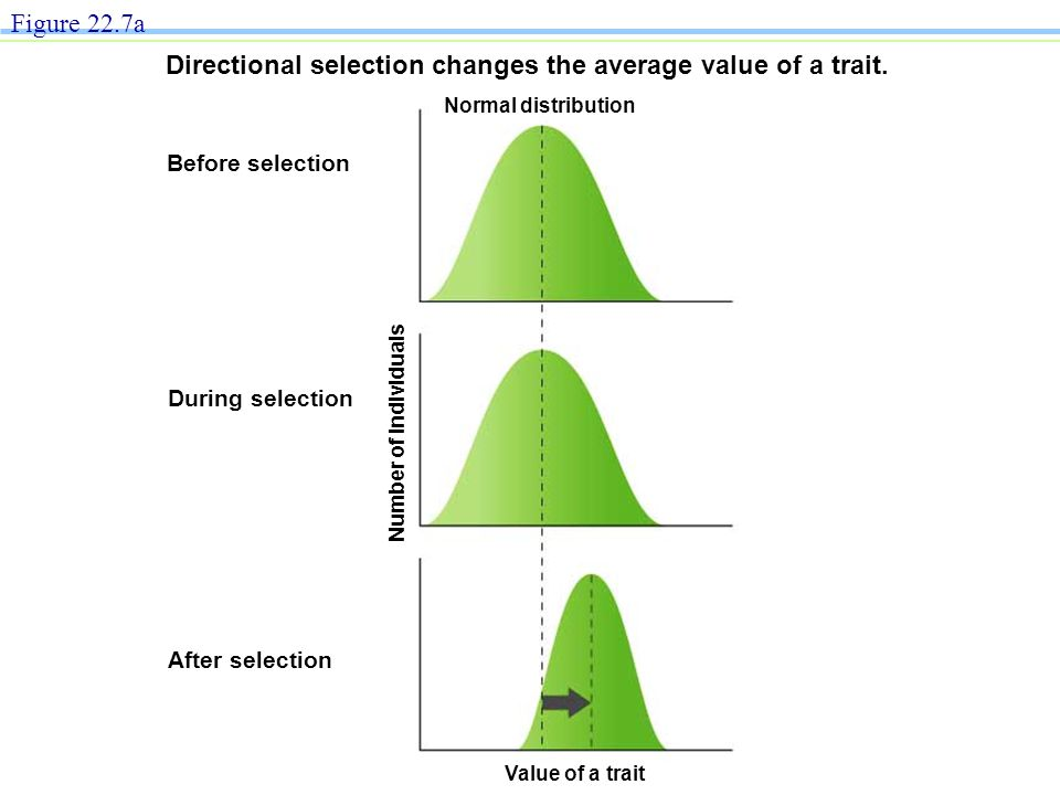 After selection During selection Number of individuals Before selection Normal distribution Directional selection changes the average value of a trait.