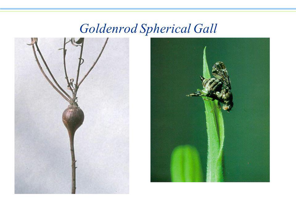 Goldenrod Spherical Gall