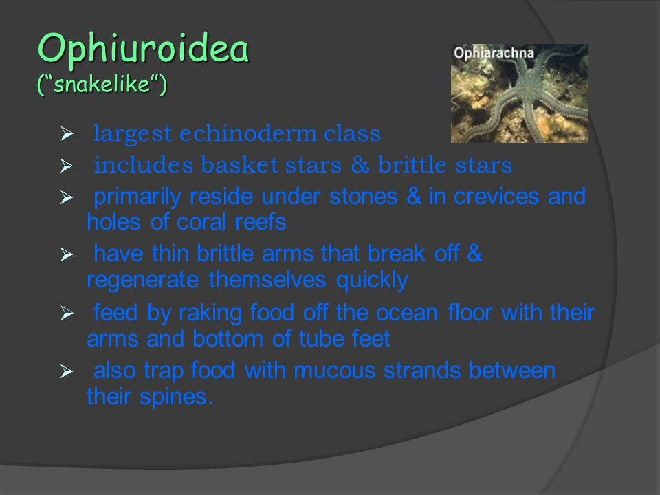 Ophiuroidea ( snakelike )  largest echinoderm class  includes basket stars & brittle stars  primarily reside under stones & in crevices and holes of coral reefs  have thin brittle arms that break off & regenerate themselves quickly  feed by raking food off the ocean floor with their arms and bottom of tube feet  also trap food with mucous strands between their spines.