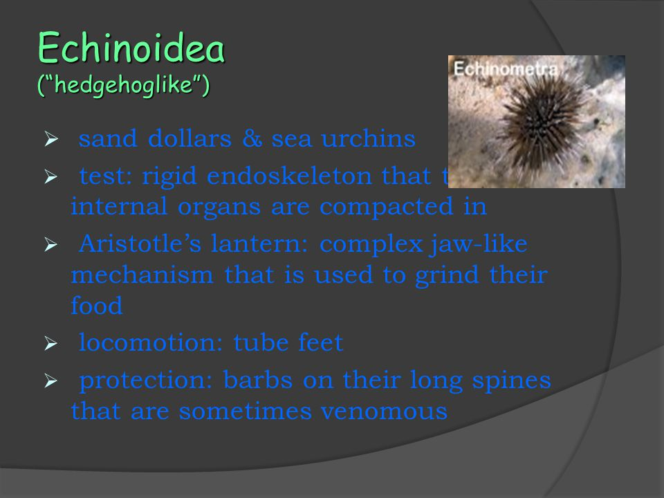 Echinoidea ( hedgehoglike )  sand dollars & sea urchins  test: rigid endoskeleton that the internal organs are compacted in  Aristotle's lantern: complex jaw-like mechanism that is used to grind their food  locomotion: tube feet  protection: barbs on their long spines that are sometimes venomous