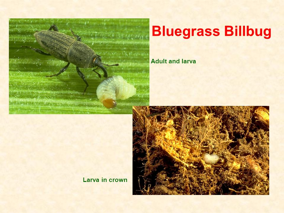 Bluegrass Billbug Adult and larva Larva in crown