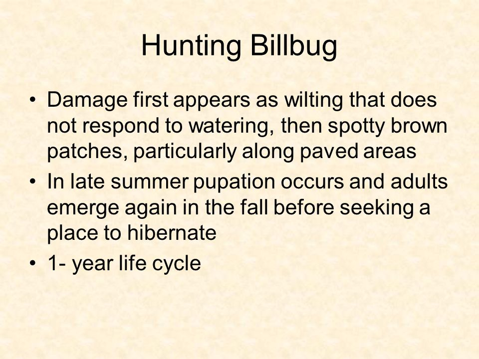 Hunting Billbug Damage first appears as wilting that does not respond to watering, then spotty brown patches, particularly along paved areas In late summer pupation occurs and adults emerge again in the fall before seeking a place to hibernate 1- year life cycle