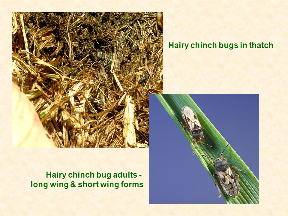 Hairy chinch bugs in thatch Hairy chinch bug adults - long wing & short wing forms