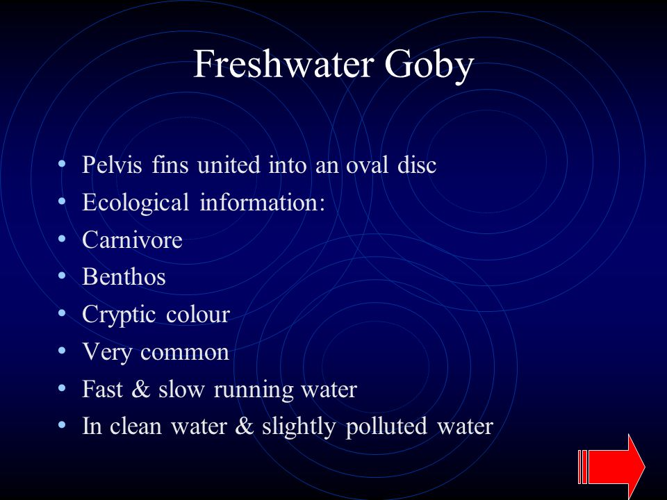 Freshwater Goby Pelvis fins united into an oval disc Ecological information: Carnivore Benthos Cryptic colour Very common Fast & slow running water In clean water & slightly polluted water